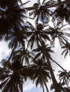 Palm Trees Stock Photography - 130592