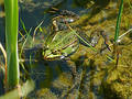Frog In A Pond Royalty Free Stock Photography - 132207