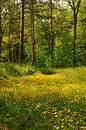 Buttercup Meadow Royalty Free Stock Photo - 137565