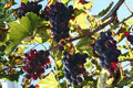 Grape And Leaf Royalty Free Stock Photos - 1307058
