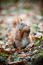 Squirrel Eating A Nut Stock Photo - 13011290