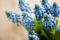 Muscari Stock Photo - 13028310