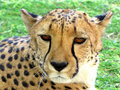Cheetah Stock Images - 13043874