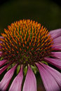 Echinacea Flower Royalty Free Stock Photography - 13053367