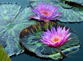 Water Lily Royalty Free Stock Image - 13057036