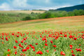 Red Poppy Field Royalty Free Stock Photography - 13063147