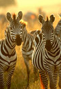 Plains Zebra Stock Image - 13067881