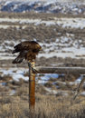 Golden Eagle And Barbed Wire Royalty Free Stock Photo - 13094235