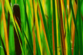 Reed Royalty Free Stock Image - 1312096