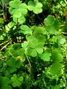 Leaves Of Clover Royalty Free Stock Images - 1314809