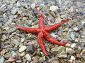 Red Sea Star Royalty Free Stock Photography - 1314987