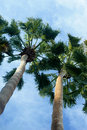 Unique Palm Tree Angled Shot Royalty Free Stock Photography - 13102007