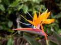 Bird Of Paradise Flower Royalty Free Stock Image - 13119886