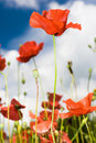 Red Poppies Stock Images - 13132504