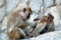 Crab-eating Macaque Royalty Free Stock Photography - 13168897