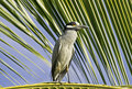 Heron Perched On A Palm Leaf Stock Photography - 13176832