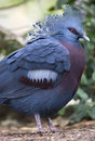 Victoria Crowned Pigeon Bird , Papua New Guinea Royalty Free Stock Images - 13181149