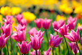 Couple Tulip With Nice Background Color Royalty Free Stock Images - 13186949