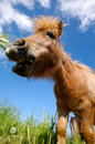 Young Horse Is Eating Grass Royalty Free Stock Photo - 13189275