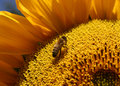 Bee On Sunflower Royalty Free Stock Images - 13192189