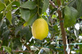 Yellow Lemon In Tree Stock Photos - 13212933