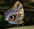 Owl Butterfly Royalty Free Stock Photos - 13221308