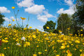 Meadow Buttercup Royalty Free Stock Photos - 13248798