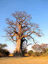 Baobab Tree Royalty Free Stock Photography - 13293047