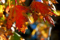 Fall Maple Leaves Stock Images - 1330494