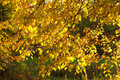 Autumn Gold Leaves Royalty Free Stock Image - 1330976