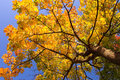 Gold Maple Tree Royalty Free Stock Images - 1330979