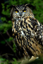 Eagle Owl Royalty Free Stock Photography - 1334877