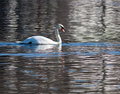 Swan Swimming On The River Royalty Free Stock Photography - 13307417