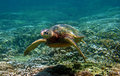 Green Sea Turtle Swimming Underwater In Hawaii Stock Images - 13310294