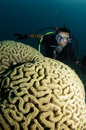 Organ Coral And Scuba Diver Stock Images - 13310954