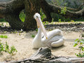 Pelican Royalty Free Stock Image - 13316096