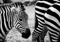 Zebras Royalty Free Stock Images - 13338529