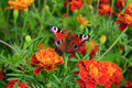 Butterfly On Marigold Stock Image - 13347641