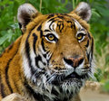 Portrait Of A Wet Tiger Royalty Free Stock Images - 13364709