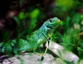 Lizard Stock Images - 1341414