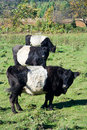 Belted Galloways Royalty Free Stock Photography - 1343357