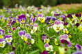 Pansy Stock Image - 13428461