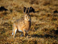 European Hare Royalty Free Stock Photography - 13466867