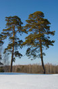 Two Pine Royalty Free Stock Images - 13482929