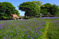 Bluebells And Red Roofed Barn Royalty Free Stock Images - 13500309