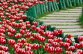 Tulip And Path Royalty Free Stock Photo - 13507185