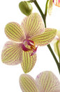 Orchid Flower Royalty Free Stock Image - 13508596