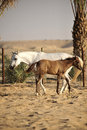 White Arabian Horse With Colt Royalty Free Stock Photo - 13525445