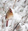 Female Northern Cardinal Royalty Free Stock Photography - 13543327