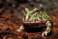 Horned Frog Royalty Free Stock Image - 13546436